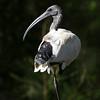 Australian White Ibis_8267
