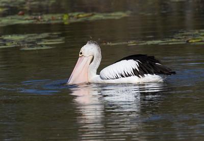 Australian Pelican - 5663