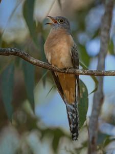 Fan-tailed Cuckoo_6706