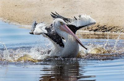 Australian Pelican - 3308