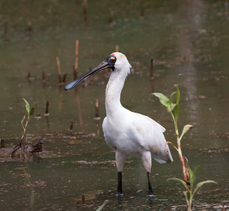 Royal Spoonbill - 8457