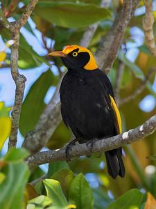 Regent Bowerbird,male - 4336