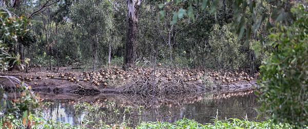 170 Plumed Whistling Ducks - 5611