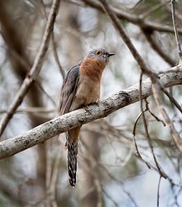 Fan-tailed Cuckoo - 6081