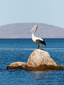 Australian Pelican - tryptich_1