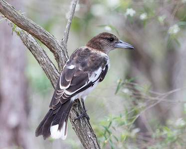 Pied Butcherbird,juvenile - 2179