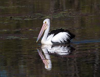 Australian Pelican  -  3779
