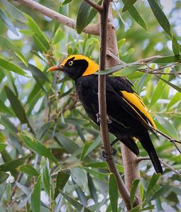 Regent Bowerbird,male_4737