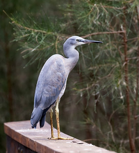 White-faced Heron_1351