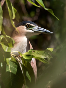 Nankeen Night Heron - 8711