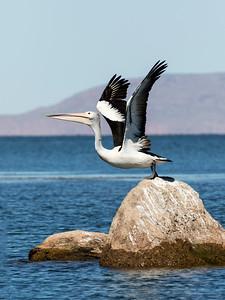 Australian Pelican - tryptich_2