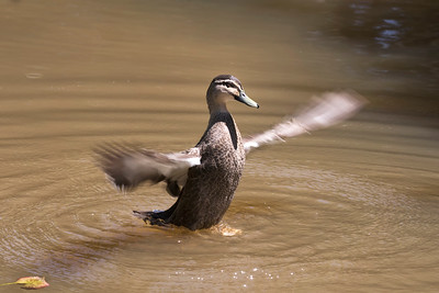 Pacific Black Duck - 5906