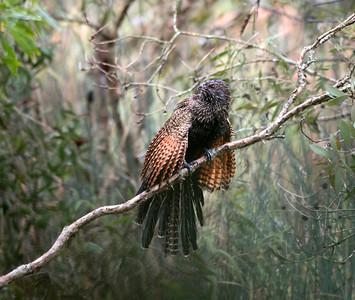 Pheasant Coucal - 4335b