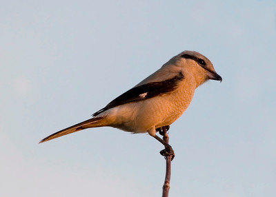 Shrike, Northern