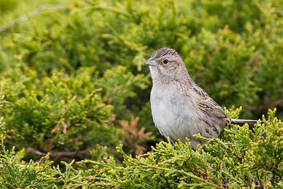 Sparrow, Cassin's
