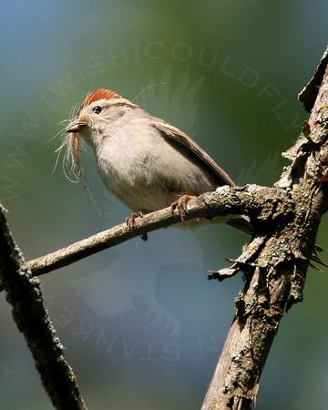 Sparrow, Field