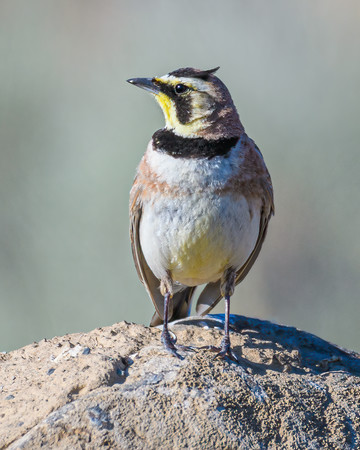 Male Horned Lark in Eastern Washington