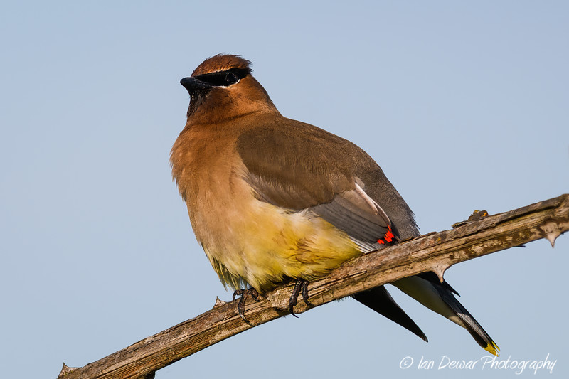 Cedar Waxwing on blackberry cane