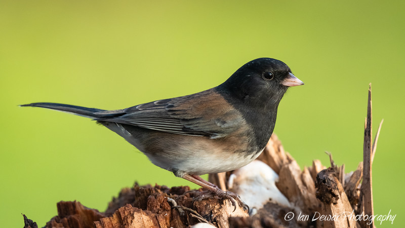 Dark Eyed Junco on a fallen tree