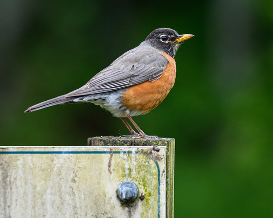American Robin on signpost