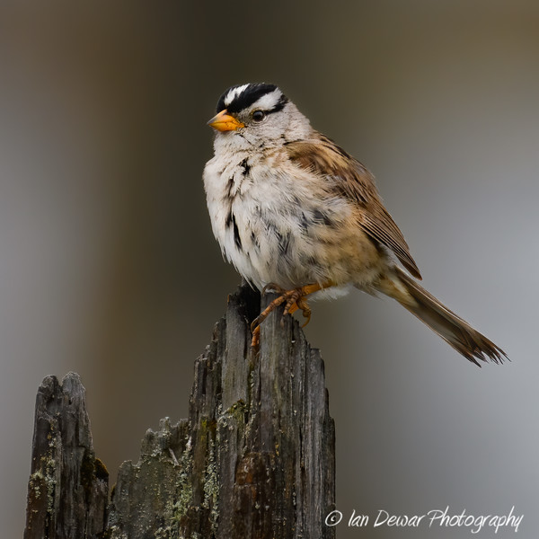 White-crowned Sparrow on wooden post