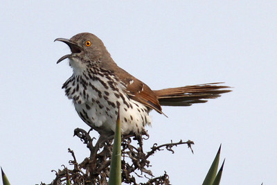 Thrasher, Long-billed