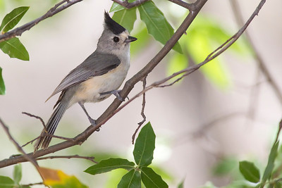 Titmouse, Tufted [Black-crested]