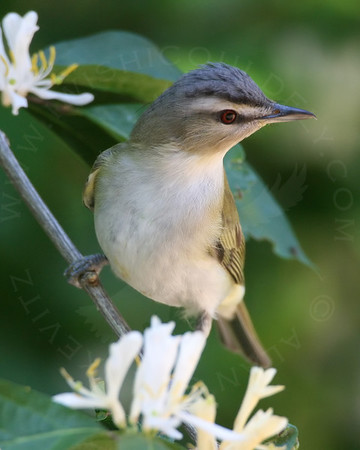 Vireo, Red-eyed