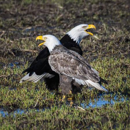 Leucistic Bald Eagle and mate