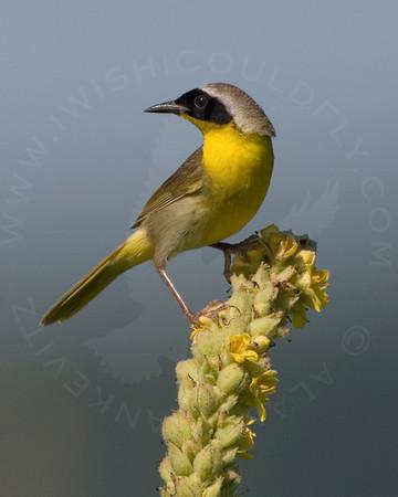 Yellowthroat, Common