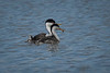 Western  Grebe  & Baby Chicks