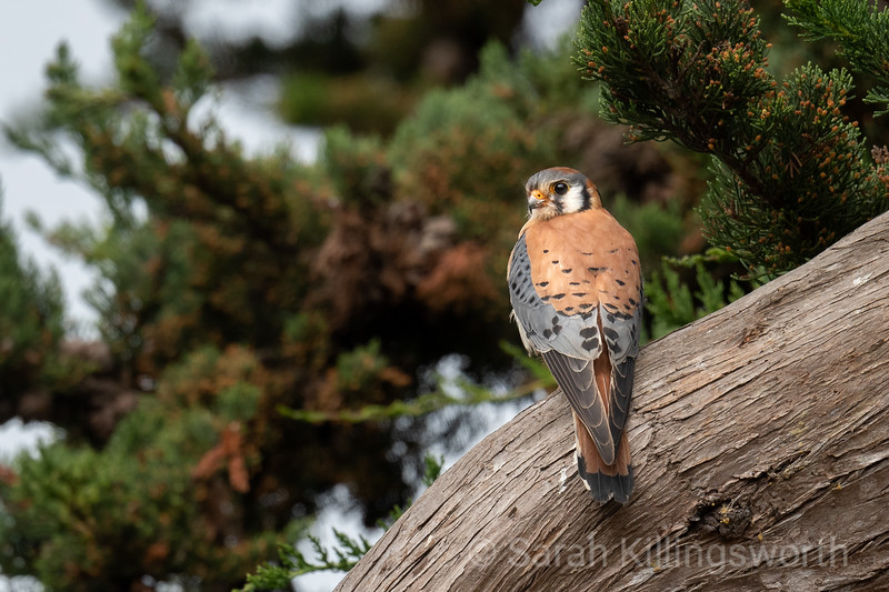 a male kestrel perched and on the lookout near a nest