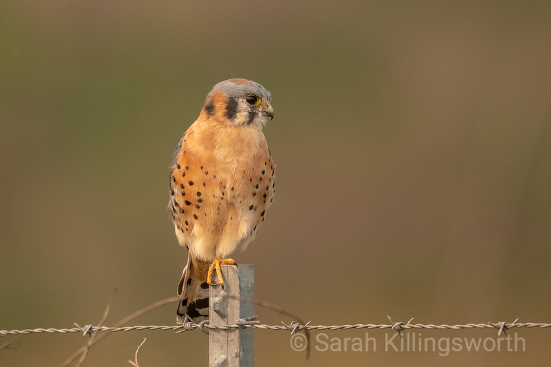 kestrel scanning