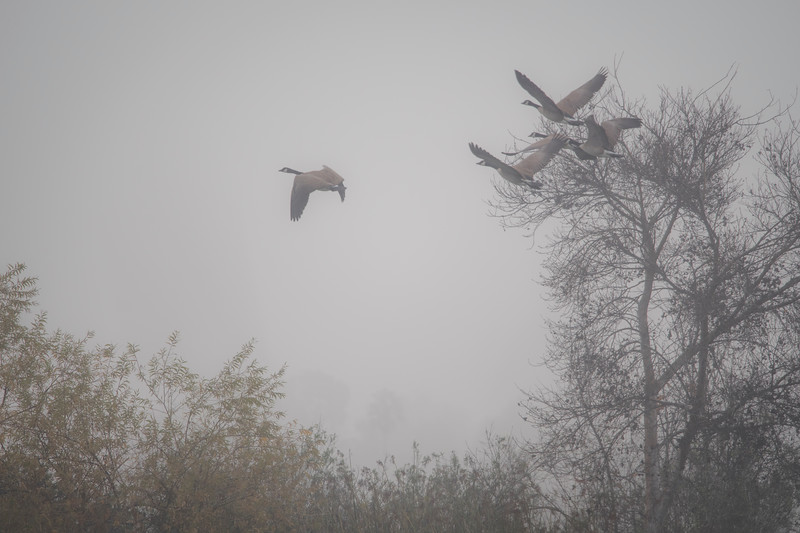 Canadian Geese flying in the Fog