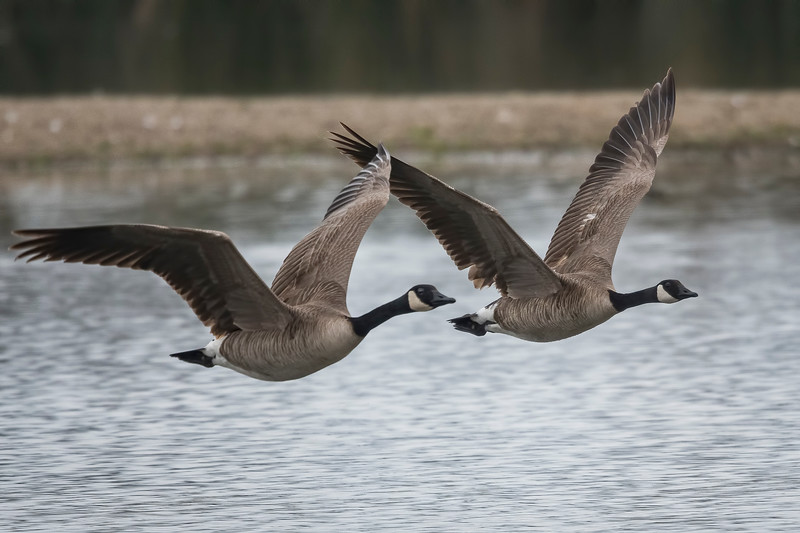 Canadian Geese Flying