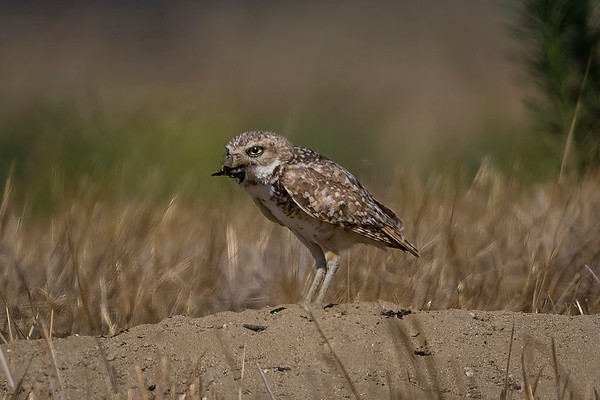 Burrowing Owl  & June Bug