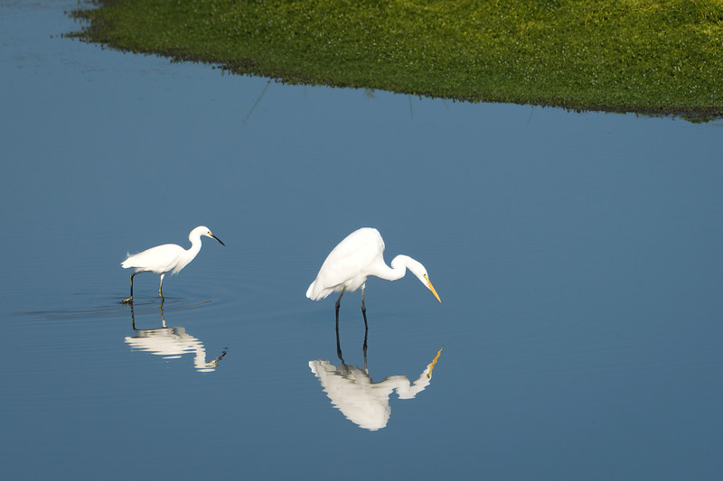 Snowy & Great Egrets