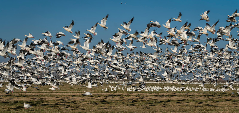 Flying Ross' s Geese