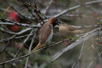 Adult Scaly-breasted Munia feeds a Juvenile
