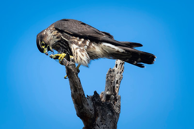 Merlin eating a Dragonfly