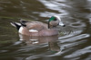 American Wigeon, Breeding Male