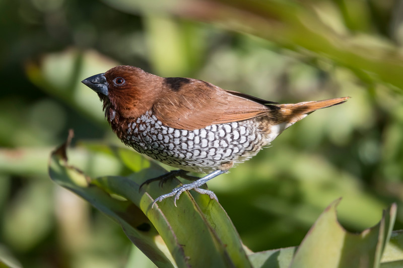 Scaly-breasted Munia, Adult Male