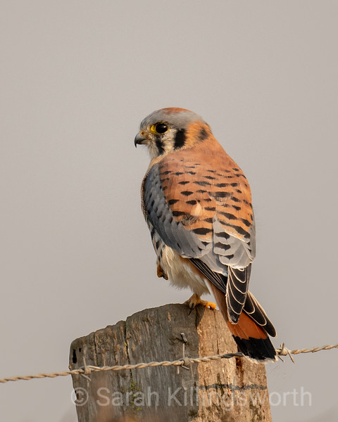 smokey kestrel
