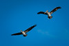 Sea Pelicans in Flight
