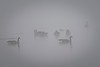 Canadian Geese in the Fog