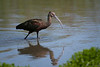 White Faced-Ibis