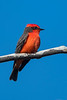 Red Vermilion Flycatcher