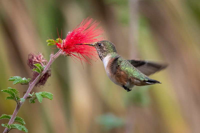 Allen's Hummingbird, Female