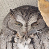 """Eastern Screech Owl <br> Sugar Creek Nursery <br> Kirkwood, Mo. <br> 2008-12-04 14:15:57 <br> Photo by Al Smith <br> <font color = gray> See all this day's </font> <a  href=""""http://www.photosbyat.com/gallery/6739024_C7hAv#430420734_C2NyU""""> <font color = gray>Photos Here</font></a>"""