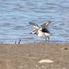"Black-bellied Plover <br /> Riverlands Migratory Bird Sanctuary <br /> 2008-10-25 <br /> Photo by Al Smith <br /> <font color = gray> See all this day's </font> <a  href=""http://www.photosbyat.com/gallery/6365934_LPviY"" target=""_blank""> <font color = gray>Photos Here</font></a>"